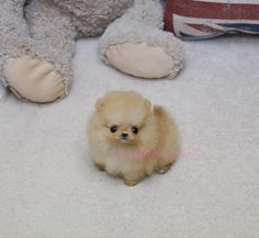 Teacup Puppies for Sale!