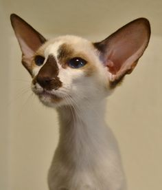 Oriental Shorthair Cat -- he haz a skeptical. =D