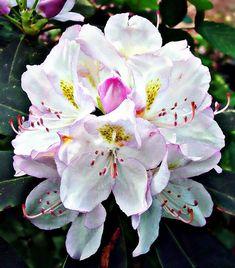 Bay (Rose) Rhododendron  Danger, beware
