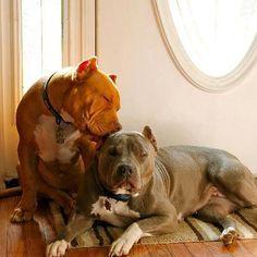 #Pit #Bull love <3