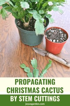 Christmas cactus propagation is easy to do. Learn how to propagate cactus, how to take cuttings from Christmas cactus, & about planting Christmas cactus cuttings. Christmas cactus are easy-care succulent houseplants. #christmascactuscare #plantpropagation Christmas Cactus Plant, Easter Cactus, Cactus Flower, Cactus Cactus, Indoor Cactus, Indoor Plants, Indoor Herbs, Flower Plants, Christmas Flowers