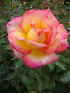 La belleza de una rosa.