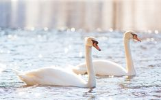 Download wallpapers white swans, couple, lake, beautiful white birds, swans