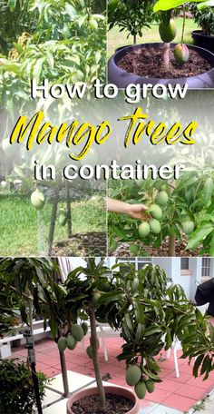 How to grow Mango tree, Growing Mango tree in a pot, Mango plant care, harvesting, and pests problem. Mango tree grows in hot temperatures. Potted Fruit Trees, Fruit Trees In Containers, Growing Fruit Trees, Fruit Plants, Fruit Garden, Growing Tree, Growing Plants, Growing Grapes, Growing Mango From Seed