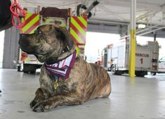 Moses, a year-and-a-half-old Canary Mastiff, was recently certified as a Canine Good Citizen through the American Kennel Club. Dog Passed Away, Farm Dogs, Good Citizen, Tibetan Mastiff, Mastiff Dogs, English Mastiff, Comfort And Joy, Man And Dog, Local Parks