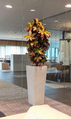 Wit geglazuurde aardewerk zuil met Croton Iceton. In een vergaderruimte in Utrecht.  Interieurbeplanting | Hydrocultuur | Planten | Onderhoud | Kantoorinrichting | Design | Live Picture | Moswanden | Groene wanden | Luchtzuiverende planten | Kantoorplanten