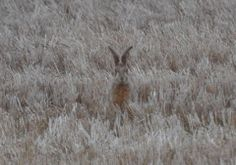 Hare from the field on the outside of my home