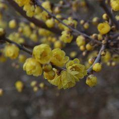 Chimonanthus praecox // Pour culture en grand bac (sol acide, croissance lente) Chimonanthus Praecox, Blossom Trees, Dream Garden, Shrubs, Fruit, Flowers, Culture, Yellow, Decoration