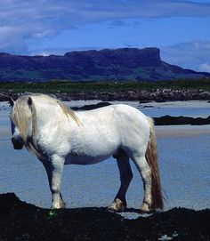 Horse on beach, Isle of Muck by Kevin Allan
