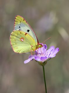Clouded-Yellow Butterfly looks so dainty and coloring is soft to match Butterfly Kisses, Butterfly Flowers, Butterfly Wings, Beautiful Bugs, Beautiful Butterflies, Beautiful Flowers, Flying Flowers, Butterfly Pictures, Butterfly Wallpaper