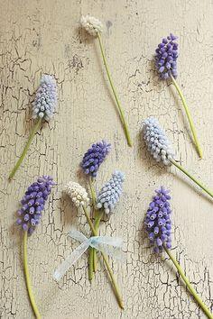 .Grape Hyacinths