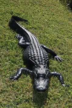 Aligator in the Everglades - Florida by sigfus.sigmundsson, via Flickr