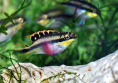 kribensis, Pelvicachromis pulcher