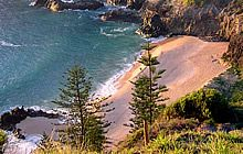 Norfolk Island Pinetrees beside the Beach