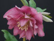 Hellebores - #1 Deer Proof Plant for Shade Gardens! Plus 100's of Shade Perennials, Shrubs, Hardy Ferns, Heucheras, Hostas.