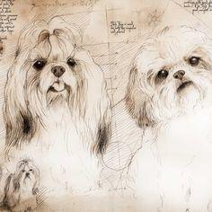 """Shih Tzu Study"" A full size Da Vinci style drawing"