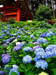 Hydrangea 紫陽花 in Mimuroto-ji temple,  三室戸寺 Kyoto