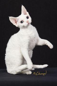 An introduction to the Devon Rex breed Kittens Cutest, Cats And Kittens, Cute Cats, Pretty Cats, Beautiful Cats, Devon Rex Katzen, Curly Cat, Devon Rex Cats, Cornish Rex Cat