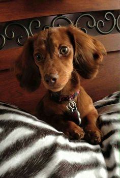 Brown Dachshund, Dachshund Love, Doxie Puppies, Cute Puppies, Wiener Dogs, Adorable Dogs, Dog Stuff, Dog Life, Funny Dogs
