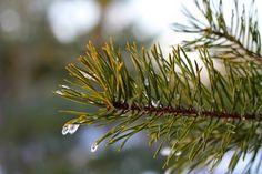 Frozen drops of water on a pine tree branch. Macro.