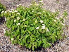 8 Best Replacement Shrubs Plants Images Shrubs Plants Planting