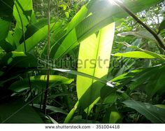 Heliconia  leave with sunlight  in a nature green forest