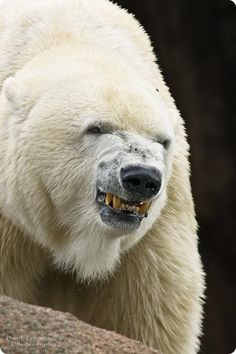 Grrr I've never seen that face on a Polar Bear! Angry Animals, Animals And Pets, Baby Animals, Cute Animals, Angry Bear, Majestic Animals, Animals Beautiful, Photo Ours, Bear Pictures