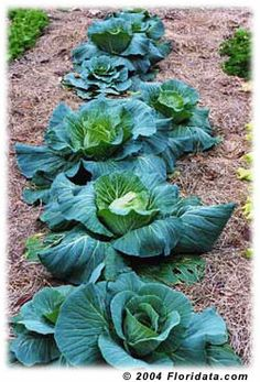 "Cabbages are part of the capitata group of brassicas, due to their ""leafy heads."""