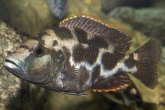 Scientific name: Nimbochromis livingstonii