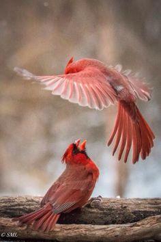 Northern Cardinal - image by Sean Lawson