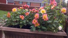 Dahlias and moss rose in planter