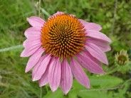 """ECHINACEA PURPUREA 