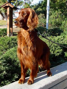 What dream home wouldn't be complete without a few pets? I want an Irish Setter so bad. Boston Bull Terrier, Irish Terrier, Chien Springer, Red And White Setter, Irish English, Irish Setter Dogs, Scottish Deerhound, Gordon Setter, Red Dog