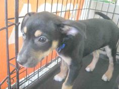 San Antonio ACS Shelter: Hello! My name i Buddy! ID A278740 I am a male black and brown Rottweiler Blend. I am around 14 weeks old.To adopt: 210-207-6666 email: acsadoptions@sanantonio.gov.  To Foster: 210-207-6669 acsrescue-foster@sanantonio.gov.  Please adopt me quickly! PetHarbor.com: Animal Shelter adopt a pet; dogs, cats, puppies, kittens! Humane Society, SPCA. Lost & Found.