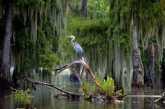 Blue Heron, taken in Lake Martin, after the rain...6/13/12  © C Guidry. All Rights Reserved