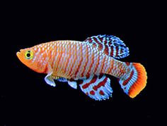 Killifish - a great article on life cycle, keeping, and breeding. Killifish have a short life span (as little as a year depending on the kind) with successful breeding you will always have these stunning fish in your tank