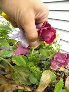 """To prolong blooming season of your plants... """"deadhead"""", or remove wilting flowers to free up resources for fresh buds!"""