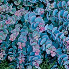 Creeping Blue Sedum - A colorful splash of pink and blue! This hardy succulent forms a perfect, circular mound of arching stems covered with fleshy, round, blue foliage with a deep pink line. The foliage turns pink in the winter. In late summer, flat heads of pink flowers bloom on 8 stems.