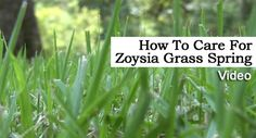 Planning to grow Zoysia grass? Find out if Zoysia grass is right for your area and needs. Grass Fertilizer, Zoysia Grass, Grass Seed, Watch Tv Shows, New Growth, Lawn Care, Landscape Design, Home And Garden, Yard Fencing