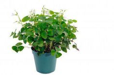 1000 images about shamrock plant on pinterest welcome home gifts house plants and plants - Shamrock indoor plant ...