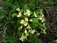 One of the first signs that spring really is with us - the wild primrose - found on roadside, in hedgerows, in gardens.