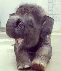 Cute baby elephant trumpeting. - http://animalfunnymemes.com/cute-baby-elephant-trumpeting/