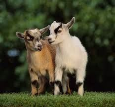 Because who wouldn't want a mini goat?