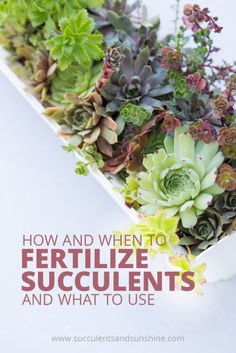 Your succulents will thank you for fertilizing them. Find out how often you should fertilize succulents and what you should use Succulent Care, Succulent Gardening, Succulent Plants, Succulent Fertilizer, Succulent Terrarium, Succulents Garden, Indoor Succulents, Blooming Succulents, Gardening Tips