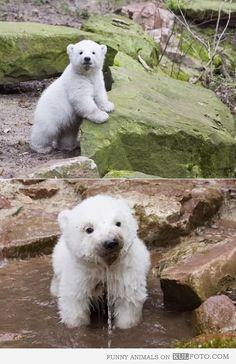 Baby Polar Bear playing outside. @Chad Cribbins Cribbins Cribbins Cribbins Cribbins to make you happy<3