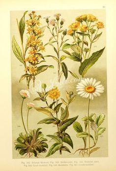 solidago virga aurea, bellis perennis, erigeron acer, inula germanica, pulicaria dysenterica, chrysanthemum leucanthemum      ...