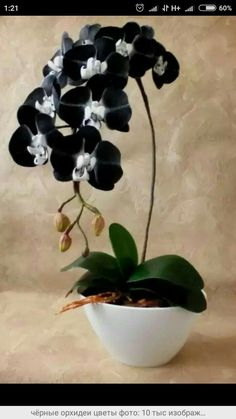 Excellent Photo black Orchid Flower Suggestions Have you got a lovely orchid in your own home that you aren't quite positive exactly how to maintain? Rare Flowers, Exotic Flowers, Amazing Flowers, Beautiful Flowers, Orchids Garden, Orchid Plants, Moth Orchid, Orchid Flowers, Black Orchid