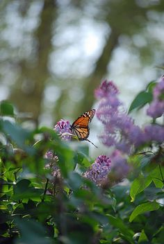 Pretty monarch enjoying the lilacs