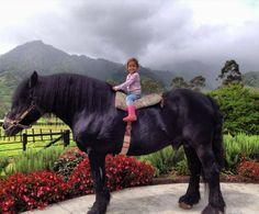 PANAMA.- Percheron caballo en las haras cerro punta-el más famoso criador de caballos pura sangre en panamá. También son muy importante a nivel internacional. 944280_433926950036345_64999169_n.jpg (800×662)