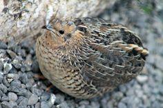 Quails, Nature Photography, Animals, Animales, Quail, Animaux, Nature Pictures, Animal, Animais